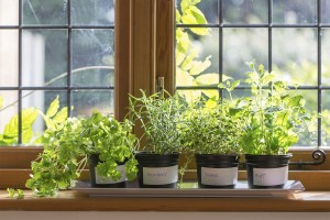 Windowsill will four identical potted plants